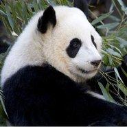 Panda Reserve Chengdu