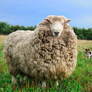 Merino sheep, used by Zegna, on the Australian grasslands