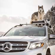 Loki the Wolfdog for Mercedes-Benz USA