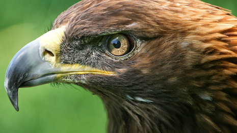 Eagle eye. Golden Eagle image courtesy of the American Eagle Foundation