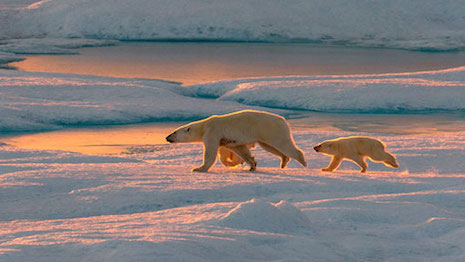 Ponant offers expeditions comprising unique experiences and twists to offbeat and well-known destinations, including a tour of the Arctic to see polar bears. Image credit: Ponant