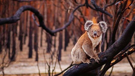 A forlorn koala in an Australian forest ravaged by wildfire. Image credit: Relais & Châteaux, The Australian