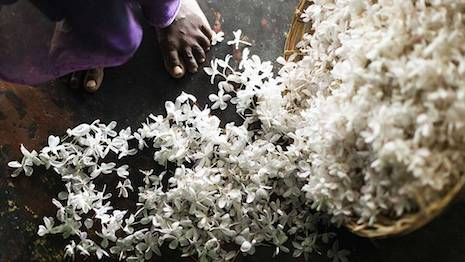 Essence of jasmine flowers is a key ingredient in perfumes from leading luxury brands, including Bulgari and Chanel. Image credit: Bulgari