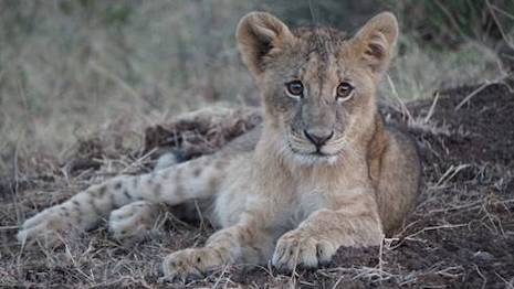 Gucci is committing to contribute 0.5 percent of its media spend each time an animal is featured in the brand's ads. Image courtesy of The Lion's Share Fund and Gucci