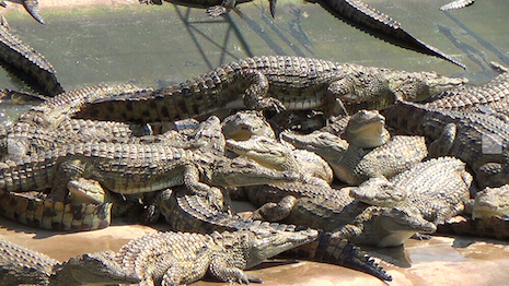 A crocodile farm in Zimbabwe that supplies skins to luxury brands for handbags, footwear and watchbands. Image credit: PETA